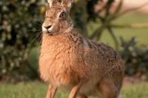 Заєць-русак