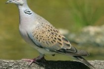 Горлиці – рід птахів (Streptopelia)