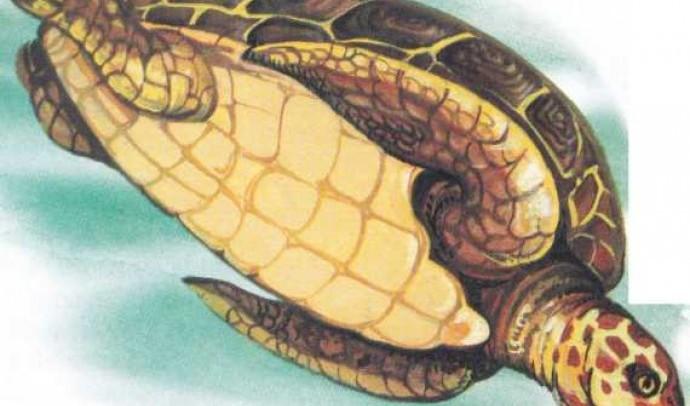 Зелена (Супова) черепаха