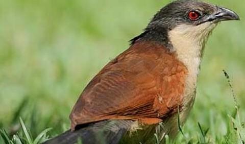 Зозулеві – родина птахів (Cuculidae)