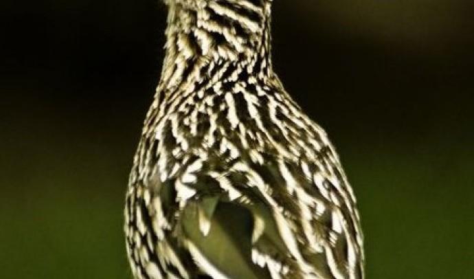 Зозуля-подорожник, або велика каліфорнійська (Geococcyx callifornianus)
