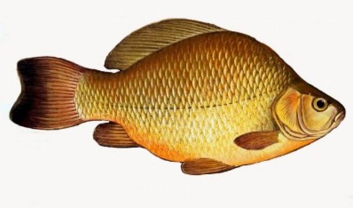 Карасі – рід риб (Carassius)