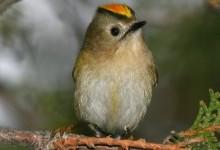 Золотомушка жовточуба (корольок)
