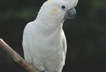 Какаду – родина птахів (Cacatuidae)