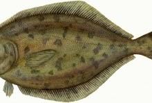 Камбала морська (Pleuronectes platessa)