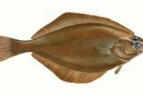 Камбалові – родина риб (Pleuronectidae)