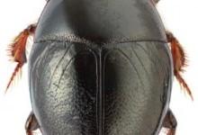 Карапузики – родина комах (Histeridae)