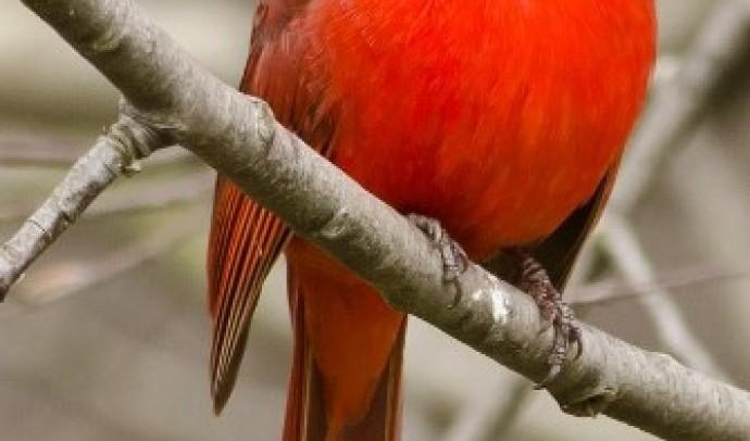 Кардинал червоний (Cardinalis cardinalis)