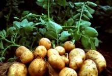 Картопля у світогляді українців