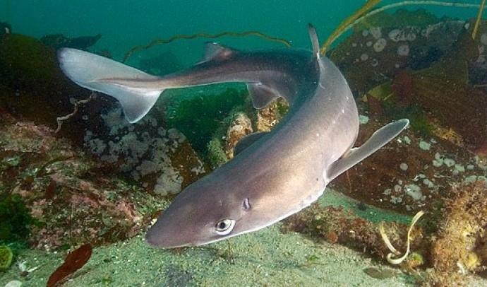 Катран короткоперий, або катран звичайний, або морський собака, або колюча акула (Squalus acanthias)