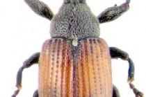 Довгоносики, або свинки, або слоники – родина комах (Curculionidae)