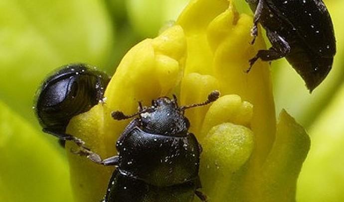 Квіткоїд ріпаковий (Meligethes aeneus)