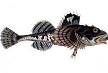 Керчак, або рогатка арктична (Myoxocephalus scorpius)