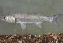 Кефалеві – родина риб (Mugilidae)