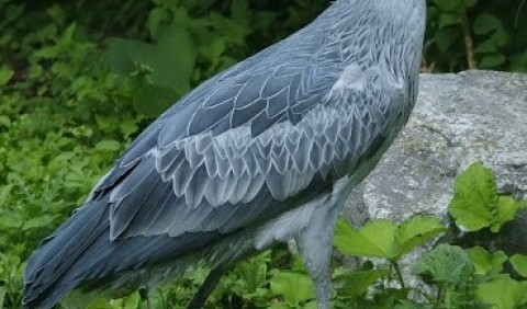 Китоголов (Balaeniceps rex)