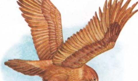 Клинохвостий орел