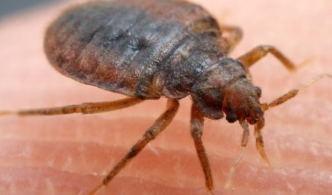 Клоп постільний, або блощиця постільна (Cimex lectularius)