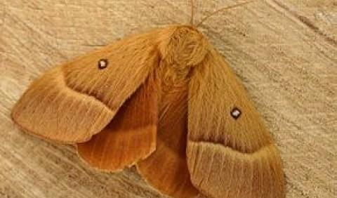Коконопряди – родина комах (Lasiocampidae)