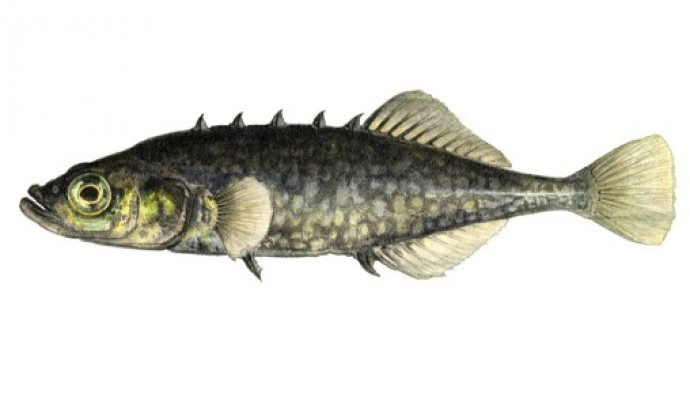 Колючкові – родина риб (Gasterosteidae)
