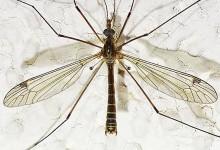 Комарі-довгоноги – родина комах (Tipulidae)