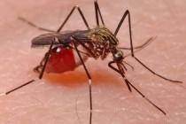 Комарі – родина комах (Culicidae)