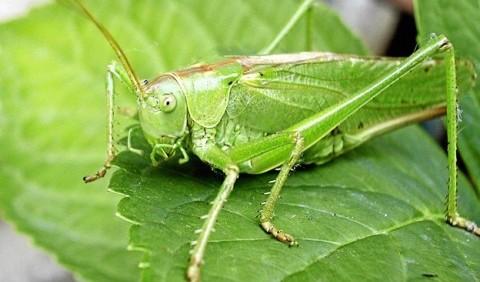 Коники справжні – родина комах (Tettigoniidae)