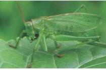 Коник зелений