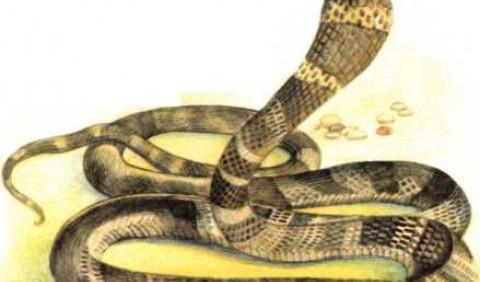 Королівська кобра