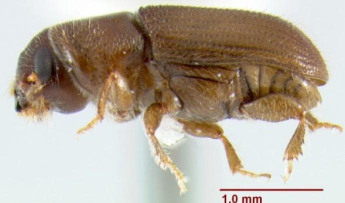 Короїди – підродина комах (Scolytinae)