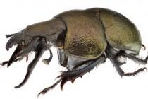 Кравчики – рід комах (Lethrus)