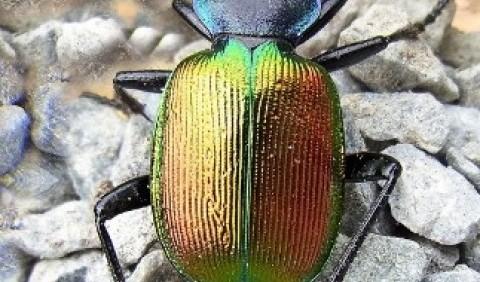 Красотіл пахучий (Calosoma sycophanta)