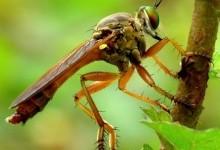 Ктирі – родина комах (Asilidae)