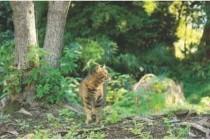 Кіт лісовий