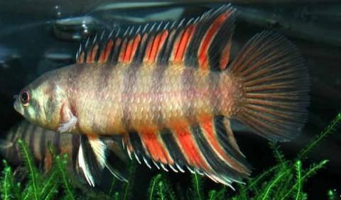 Лабіринтові, або анабасові, або плазуючі гурамі – родина риб (Anabantidae)