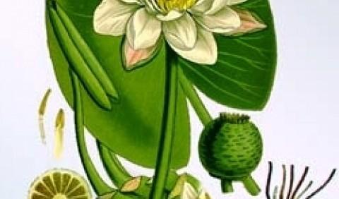 Латаття біле (водяна лілія)