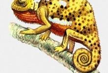 Коли і чому хамелеон змінює колір?