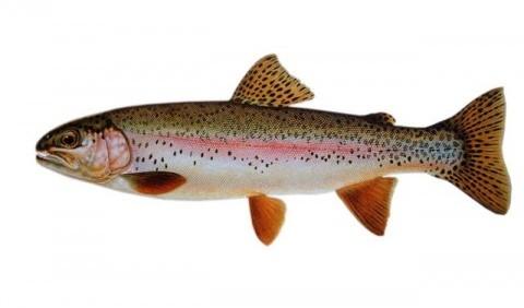 Лососеві – родина риб (Salmonidae)