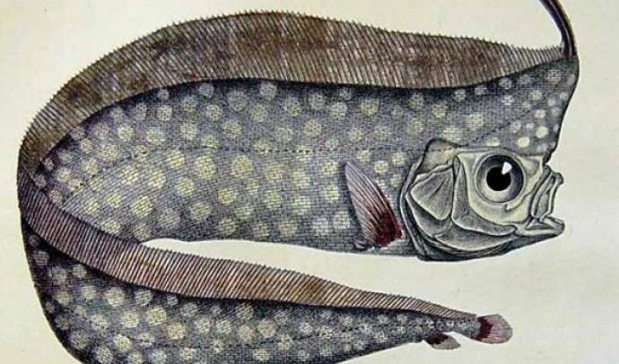 Лофотові – родина риб (Lophotidae)
