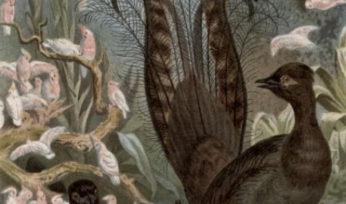Птах-ліра (лірохвіст)