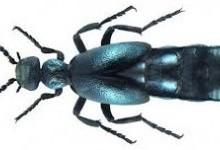 Жуки-майки – рід комах (Meloe)