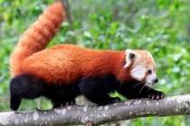 Мала панда