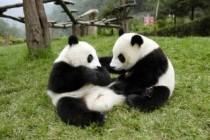 Велика панда