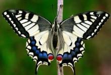 Кавалери, або вітрильники, або хвостоносці – родина комах (Papilionidae)