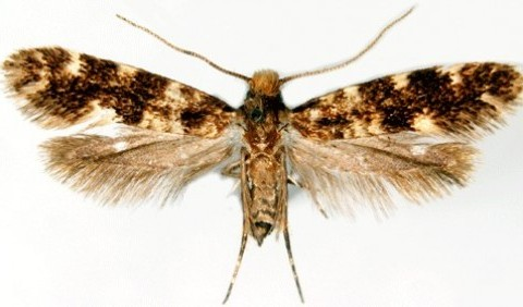 Молі справжні – родина комах (Tineidae)