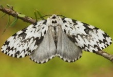 Монашка, або шовкопряд-монашка (Lymantria monacha)