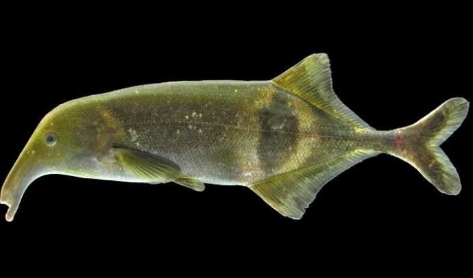 Мормірові, або слонорили, або риби-слоники, або довгорилі – родина риб (Mormyridae)