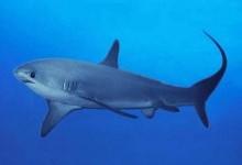 Морська лисиця звичайна, або акула-лисиця звичайна, або лисяча акула (Alopias vulpinus)
