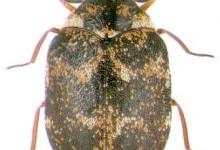 Музейний жук, або шкіроїд музейний (Anthrenus museorum)
