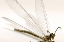 Мурашині леви – родина комах (Myrmeleontidae)