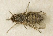 Муха цеце – рід комах (Glossina)